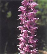 Orchidea Macchiata