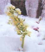 Orchidea Sambucina