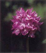 Orchidea Tridentata